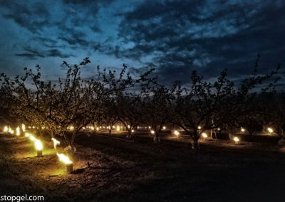 STOPGEL GREEN in a field of fruit trees during a freezing night